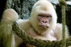 like the rarely seen albino gorilla - i'm back